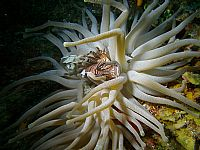 Anemone capturing Lionfish
