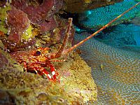 Red Banded Lobster